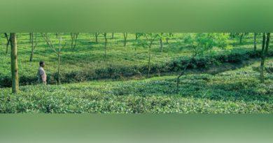 মহানন্দার তীরে, চা বাগানের মাঝে